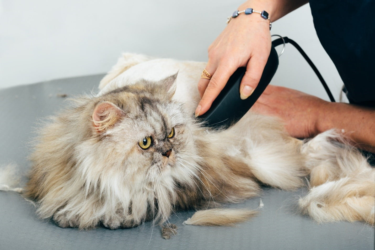 long-haired cat being groomed with clippers